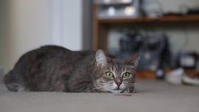 Όμορφη μεγάλη γάτα Dometic που κινεί τα πράσινα μάτια απόθεμα βίντεο