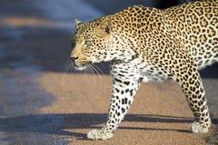 Όμορφη μεγάλη αρσενική λεοπάρδαλη που περπατά στο κυνήγι φύσης Στοκ Εικόνα