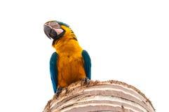 Όμορφη μπλε στάση macaw σε ένα δέντρο καρύδων Στοκ εικόνα με δικαίωμα ελεύθερης χρήσης