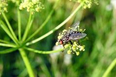 Όμορφη μύγα στις κίτρινες εγκαταστάσεις, Λιθουανία Στοκ εικόνες με δικαίωμα ελεύθερης χρήσης