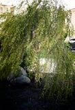 Όμορφη νάνα σημύδα δέντρων Στοκ φωτογραφία με δικαίωμα ελεύθερης χρήσης