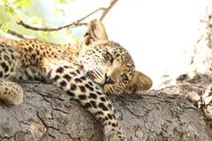 Όμορφη νέα λεοπάρδαλη στο δέντρο στην κίνηση παιχνιδιών άγριας φύσης σαφάρι της Νότιας Αφρικής Στοκ Φωτογραφίες