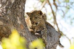 Όμορφη νέα λεοπάρδαλη στο δέντρο στο σαφάρι της Νότιας Αφρικής σε μια κίνηση παιχνιδιών Στοκ Εικόνες