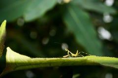 Όμορφη νέα επίκληση Mantis - religiosa Mantis Στοκ φωτογραφία με δικαίωμα ελεύθερης χρήσης