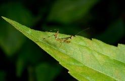 Όμορφη νέα επίκληση Mantis - religiosa Mantis Στοκ Εικόνες