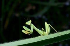 Όμορφη νέα επίκληση Mantis - religiosa Mantis Στοκ Φωτογραφίες