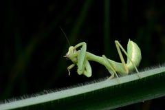 Όμορφη νέα επίκληση Mantis - religiosa Mantis Στοκ Φωτογραφία