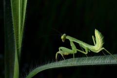 Όμορφη νέα επίκληση Mantis - religiosa Mantis Στοκ Εικόνα