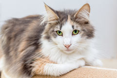 Όμορφη νορβηγική δασική γάτα με τα πράσινα μάτια Στοκ εικόνα με δικαίωμα ελεύθερης χρήσης