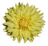 όμορφη ντάλια κίτρινη Στοκ εικόνα με δικαίωμα ελεύθερης χρήσης