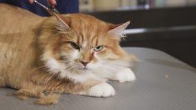 Όμορφη νυσταλέα γάτα που τακτοποιείται από έναν επαγγελματικό κτηνίατρο απόθεμα βίντεο