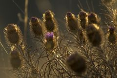 Όμορφη ξηρά κινηματογράφηση σε πρώτο πλάνο burdock Πορφυρό λουλούδι κάρδων στοκ φωτογραφία με δικαίωμα ελεύθερης χρήσης