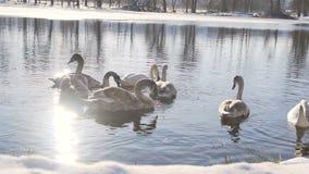Όμορφη οικογένεια πουλιών του Κύκνου στη χειμερινή λίμνη απόθεμα βίντεο