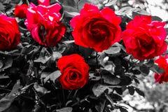 Όμορφη ομάδα κόκκινων τριαντάφυλλων Στοκ φωτογραφία με δικαίωμα ελεύθερης χρήσης