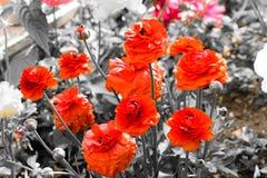 Όμορφη ομάδα κόκκινων τριαντάφυλλων Στοκ Εικόνες