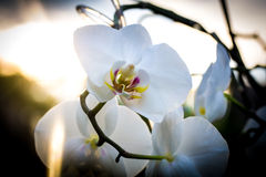Όμορφη ορχιδέα λουλουδιών το βράδυ στοκ εικόνες