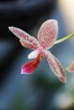 Όμορφη ορχιδέα χλωρίδας λουλουδιών Στοκ Εικόνες