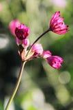 Όμορφη ορχιδέα Cattleya χλωρίδας λουλουδιών Στοκ φωτογραφίες με δικαίωμα ελεύθερης χρήσης