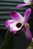Όμορφη ορχιδέα vilolet χλωρίδας λουλουδιών Στοκ Φωτογραφία
