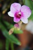 Όμορφη ορχιδέα vilolet χλωρίδας λουλουδιών Στοκ εικόνα με δικαίωμα ελεύθερης χρήσης