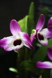 Όμορφη ορχιδέα vilolet χλωρίδας λουλουδιών Στοκ εικόνες με δικαίωμα ελεύθερης χρήσης