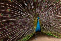όμορφη ουρά peacock Στοκ Εικόνα