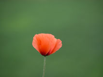 όμορφη παπαρούνα λουλουδιών Στοκ εικόνες με δικαίωμα ελεύθερης χρήσης
