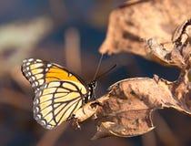 Όμορφη πεταλούδα αντιβασιλέων που στηρίζεται σε ένα ξηρό φύλλο Στοκ Φωτογραφία