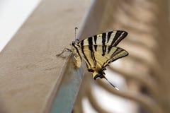 Όμορφη πεταλούδα που παρουσιάζει ομορφιά της Στοκ φωτογραφίες με δικαίωμα ελεύθερης χρήσης