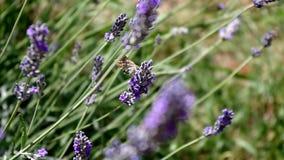 Όμορφη πεταλούδα που πετά γύρω από lavender τα λουλούδια απόθεμα βίντεο