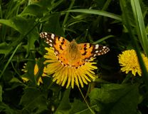 όμορφη πεταλούδα σε μια πικραλίδα στοκ φωτογραφίες με δικαίωμα ελεύθερης χρήσης