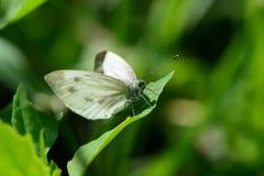 Όμορφη πεταλούδα σε μια χλόη Στοκ φωτογραφία με δικαίωμα ελεύθερης χρήσης