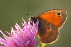 όμορφη πεταλούδα Στοκ Εικόνες