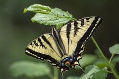 Όμορφη πεταλούδα Swallowtail τιγρών στοκ φωτογραφίες