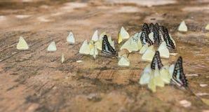 Όμορφη πεταλούδα, ζωηρόχρωμη πεταλούδα, πεταλούδα στον κήπο υπαίθριο Στοκ Εικόνα