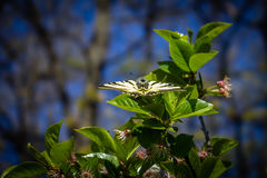 Όμορφη πεταλούδα με τα ανοικτά φτερά σε ένα πράσινο φύλλο Στοκ εικόνα με δικαίωμα ελεύθερης χρήσης