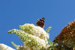 Όμορφη πεταλούδα μοναρχών στο θάμνο πεταλούδων Στοκ Εικόνες