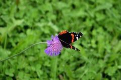 Όμορφη πεταλούδα ναυάρχων Στοκ εικόνες με δικαίωμα ελεύθερης χρήσης