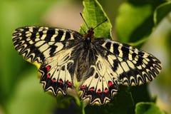 Όμορφη πεταλούδα Νότια γιρλάντα πεταλούδων της Νίκαιας, polyxena Zerynthia, απορροφώντας νέκταρ από το σκούρο πράσινο λουλούδι Πε Στοκ Εικόνες