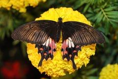 Όμορφη πεταλούδα νύχτας Στοκ εικόνες με δικαίωμα ελεύθερης χρήσης