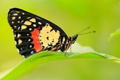 Όμορφη πεταλούδα Πεταλούδα στο βιότοπο φύσης Έντομο της Νίκαιας από τη Κόστα Ρίκα Πεταλούδα στην πράσινη δασική συνεδρίαση πεταλο Στοκ Εικόνες