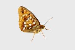 Όμορφη πεταλούδα σε ένα άσπρο υπόβαθρο Στοκ εικόνα με δικαίωμα ελεύθερης χρήσης