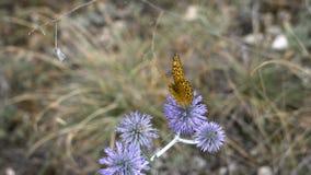 Όμορφη πεταλούδα σε μια ακίδα λουλουδιών, θερινό λιβάδι Φύση στη φρεσκάδα και τη λαμπρότητα του Μην χαλασμένος οικολογικός φιλμ μικρού μήκους