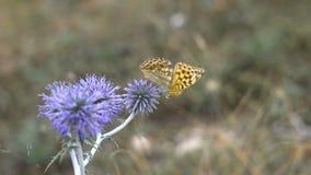 Όμορφη πεταλούδα σε μια ακίδα λουλουδιών, θερινό λιβάδι Φύση στη φρεσκάδα και τη λαμπρότητα του Μην χαλασμένος οικολογικός απόθεμα βίντεο