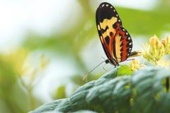 Όμορφη πεταλούδα στην άνθιση στοκ φωτογραφία με δικαίωμα ελεύθερης χρήσης