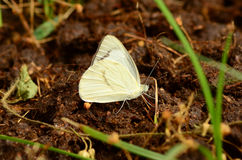 Όμορφη πεταλούδα στο υγρό πάτωμα Στοκ Φωτογραφίες