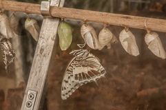 όμορφη πεταλούδα τροπική Στοκ Εικόνες