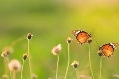 όμορφη πεταλούδα δύο Στοκ φωτογραφία με δικαίωμα ελεύθερης χρήσης