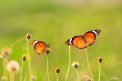 όμορφη πεταλούδα δύο Στοκ εικόνα με δικαίωμα ελεύθερης χρήσης