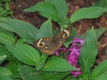 όμορφη πεταλούδα buckeye Στοκ Φωτογραφία
